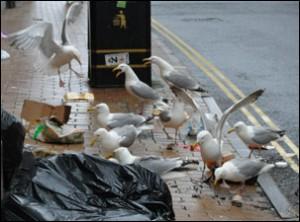 seagulls-attack-rubbish-in-